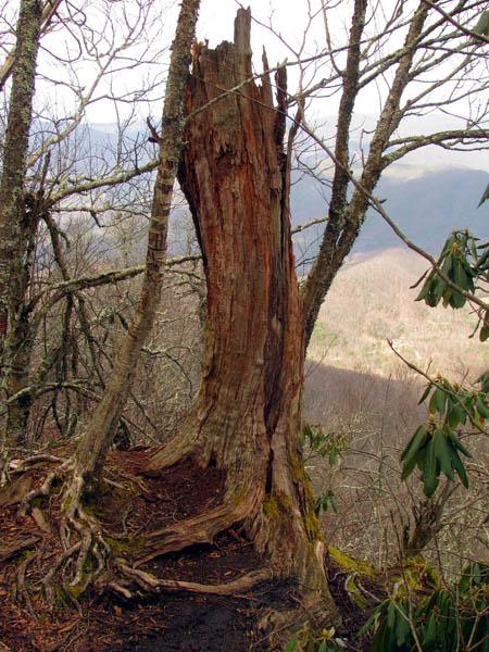 Old tree on Little Bald