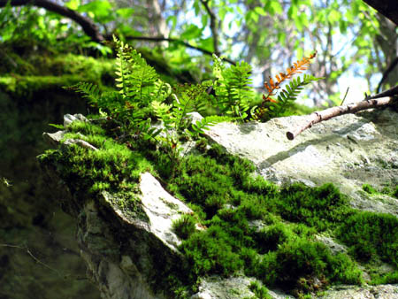 ferns growing on rock