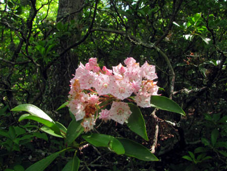 Rhododendron bloom