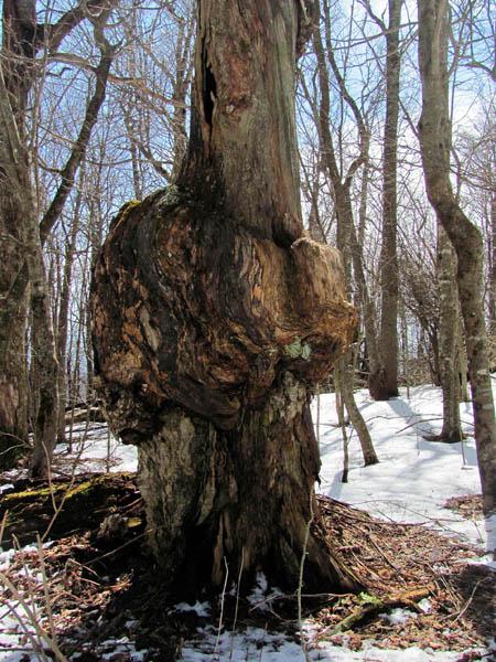 gnarley tree