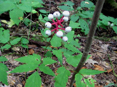 White Baneberry  aka 'Dolls Eyes'
