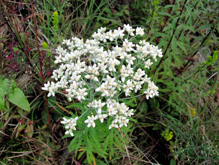 Late Blooming Thoroughwort
