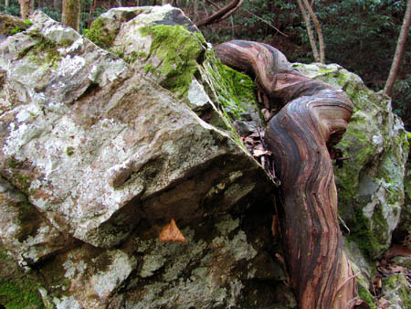 snake-like vine grown over a rock at Pine Ridge Falls