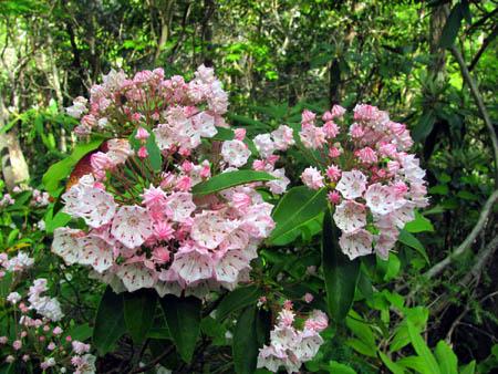 Rhodo Blooms